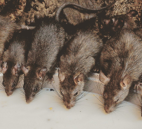 Warrantied Rodent Exclusion Service